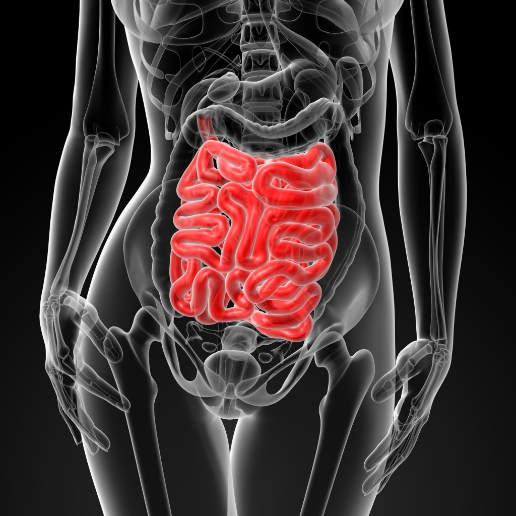 3d render of the female small intestine
